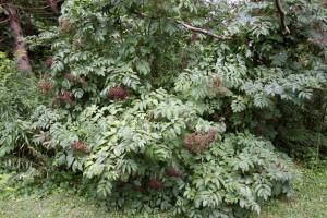 ElderberryBush